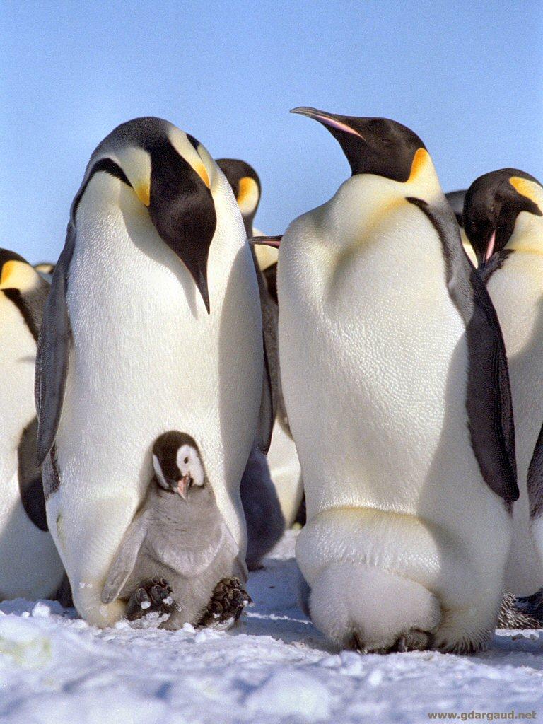 白黑黃....這是 皇帝企鵝 嗎?