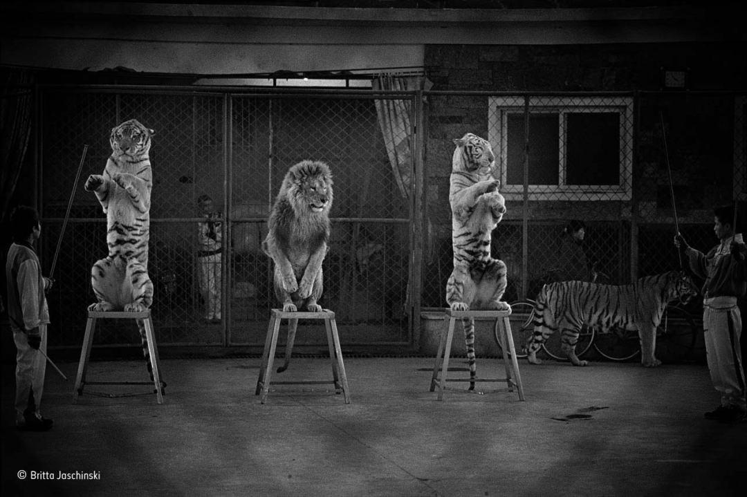 Broken cats Britta Jaschinski winner of Natural History Museum Wildlife Photographer of the Year 2015