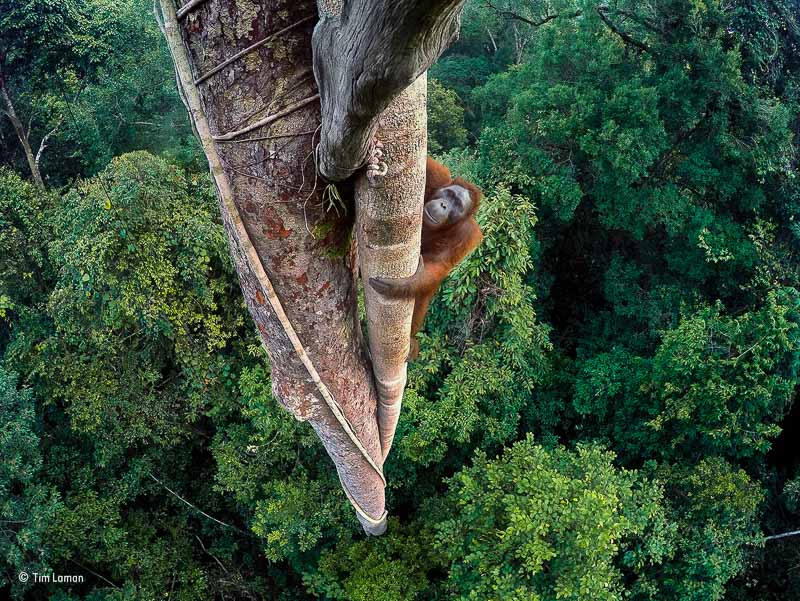 Entwined Lives by Tim Laman The Unfolding Tragedy of Wild Orangutans