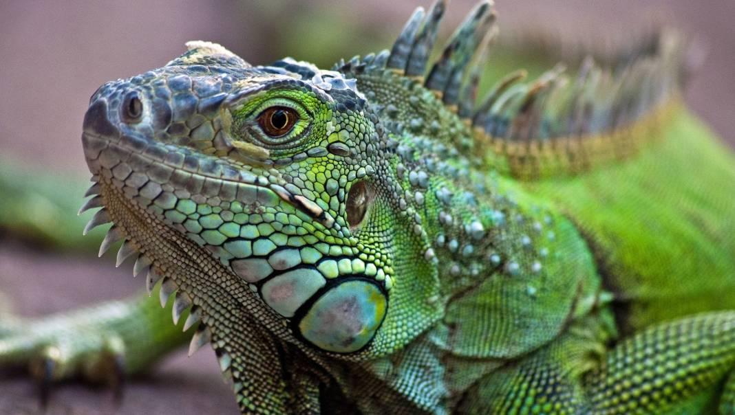 Zeci de reptile ascunse în păpuși, găsite într-un aeroport din Germania