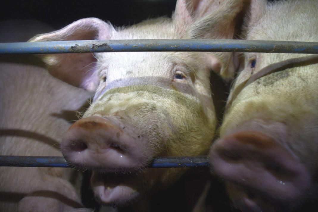CE va interzice cuștile pentru animalele din ferme