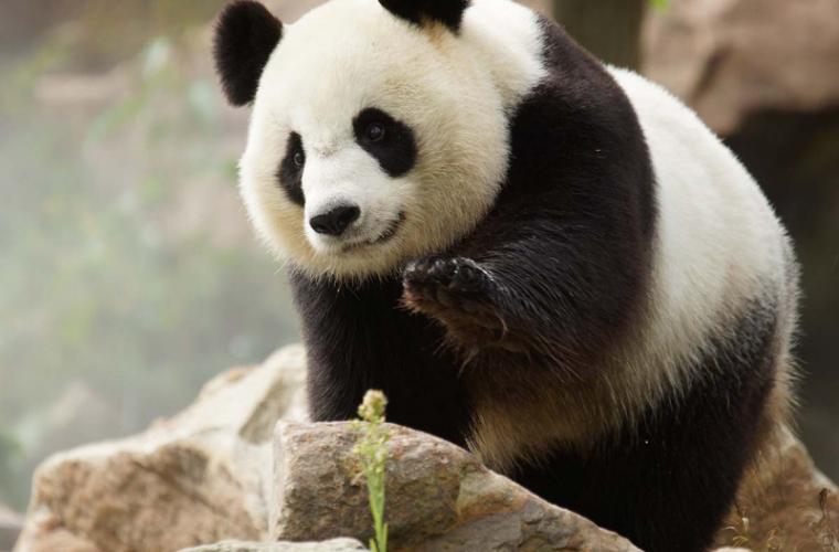 O femelă de urs panda a adus pe lume gemeni la o grădină zoologică din Franţa
