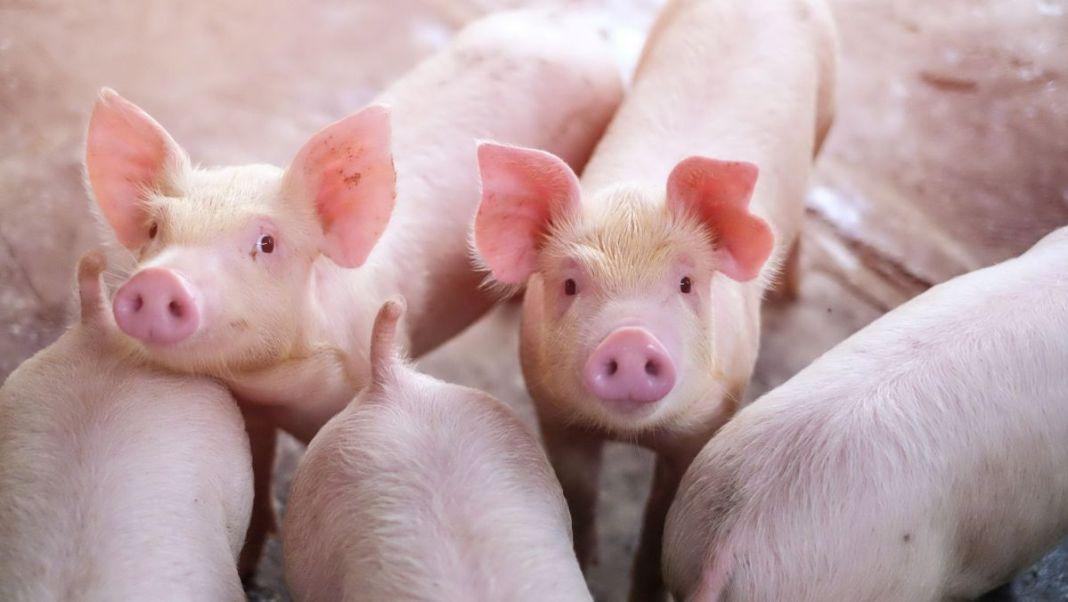 Olt: Peste 37.000 de porci de la o fermă, eliminaţi din cauza pestei porcine