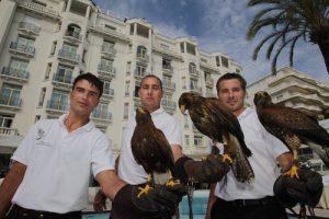 Au Martinez, on chasse les Goélands avec des faucons