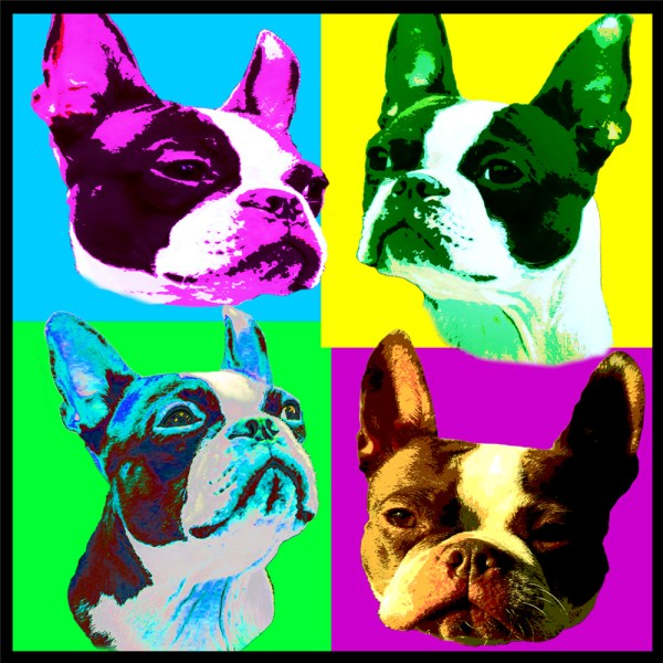 cover faces of the Boston terrier