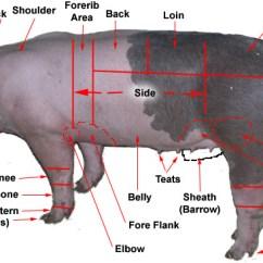 External Fetal Pig Muscle Diagram Pioneer Avh X2600bt Wiring Pigs Parts All Data Hog Body Quail