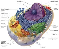 Mitokondriyal Beslenme ile Doğurganlık Artırma Programı