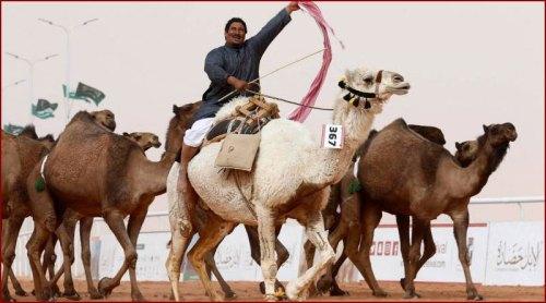 Des chameaux botoxés disqualifiés d'un concours de beauté en Arabie saoudite