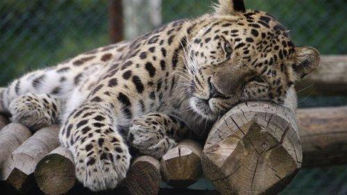 Tayto Park Amur Leopard