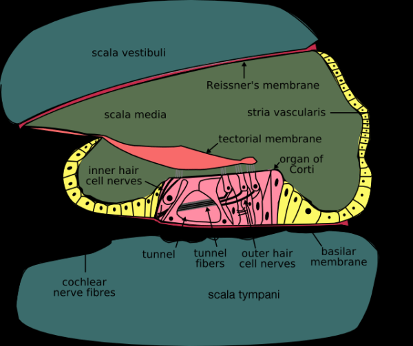 Cochlea-crosssection