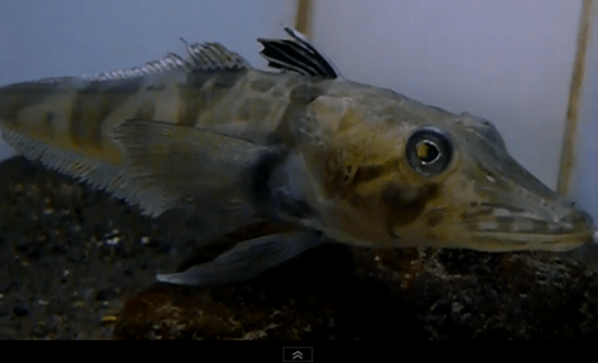 The ocellated icefish (Chionodraco rastrospinosus) has no hemoglobin and hence, its blood is totally clear