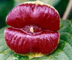 Psychotria Elata - Hooker Lips plant