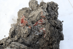Fresh meat tissue of a ancient wooly mammoth