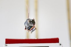 Skateboarding mouse getting ready to bail