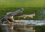 Alligator swallowing fish