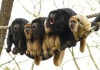 Monkeys singing
