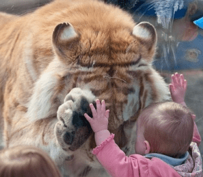 Baby toddler looks at Lion through glass wall