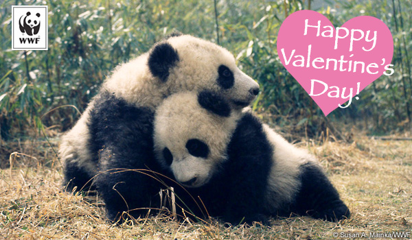 World Wildlife Fund Valentines Day Panda Card