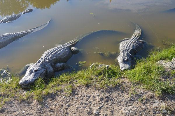 Everglades-66