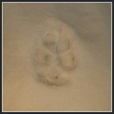 POD: Paw print in the snow