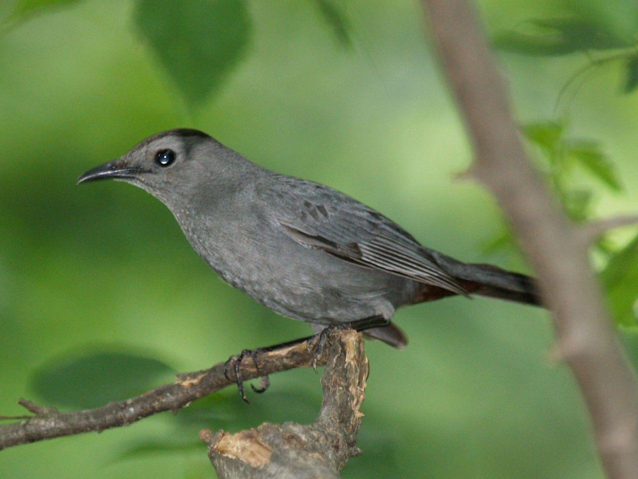 gray catbird a very