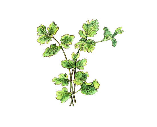 Cilantro is has a bold green flavor and is essential to Thai and Mexican cooking.