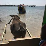 水牛に乗って西表島から由布島へ