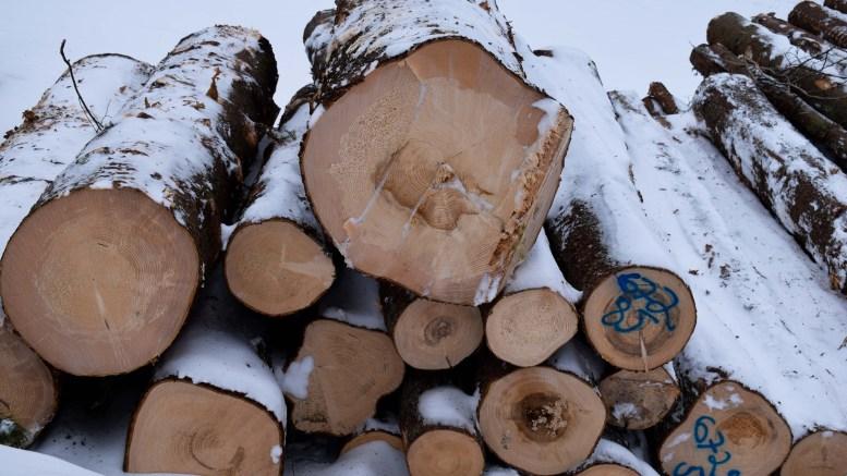 GOD PRIS: Skogeierne får god pris for tømmeret som tas ut fra skogene på Tromøy for tiden. Foto: Esben Holm Eskelund
