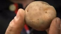 LOKALE GRØNNSAKER: Kunne vi ha valgt lokale grønnsaker, som den legendariske tromøypoteten, hadde vi trolig gjort det. Foto: Youtube/Kuben museum og arkiv