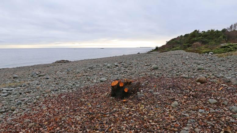 SPORNES-PALMEN: Bare stubben sto igjen da Bente Lillian Nilsen gikk tur på Spornes i helgen. Foto: Bente Lillian Nilsen