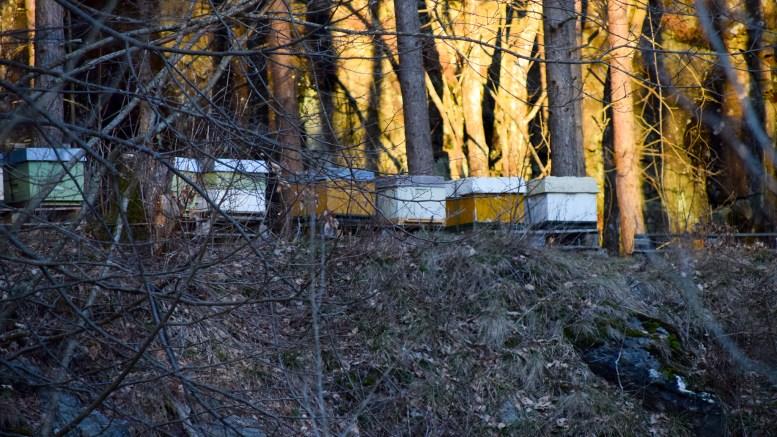 BIKUBER: Biehold i tettbygde boligfelt mener fylkeslegen i Agder at man må tåle. Disse kubene står langt fra boliger ved Hefte på Tromøy. Foto: Esben Holm Eskelund
