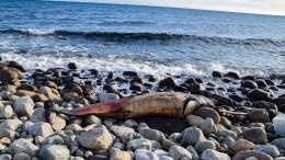 HOVE-HVALEN: En tannhval ble funnet død i rullesteinene i Raet nasjonalpark på Hove. Den kan ha dødd av sult. Foto: Esben Holm Eskelund