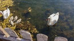 SVANEFAMILIE: Svanefar i Sandumkilen har opplevd å få sin tidligere make drept av en båt i høy fart. Nå oppfordres båtfolket til å vise hensyn til hans nye familie. Foto: Britt Botterli Jacobsen