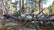 SKOGVERN: Unik gammel furuskog ved Follsjå i Telemark. Det pågår nå hogst i området, til tross for at skogen har internasjonale verneverdier og svært mange rødlistearter. Naturvernforbundet etterlyser sterkere, raskere og bedre skogvern for å sikre naturmangfoldet i skog. Foto: Tor Bjarne Christensen