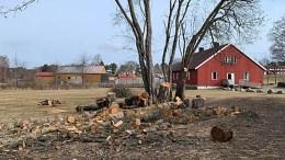 TREHOGST: En turgår sperret opp øynene da det gamle treet i Hove-leiren ble tatt ned. Foto: Privat