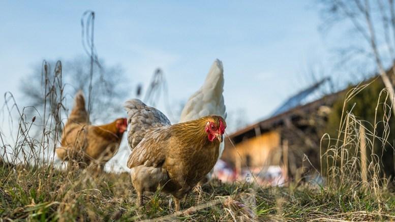 HØNSEHOLD: Det er ikke rett frem å holder høner i tettbygde strøk, men det er ikke nødvendigvis forbudt. Illustrasjonsfoto