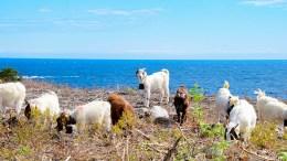TROMØY-GEITER: Onsdag ettermiddag slapp de første geitene til på det inngjerdede beiteområdet på Spornes. Foto: Esben Holm Eskelund