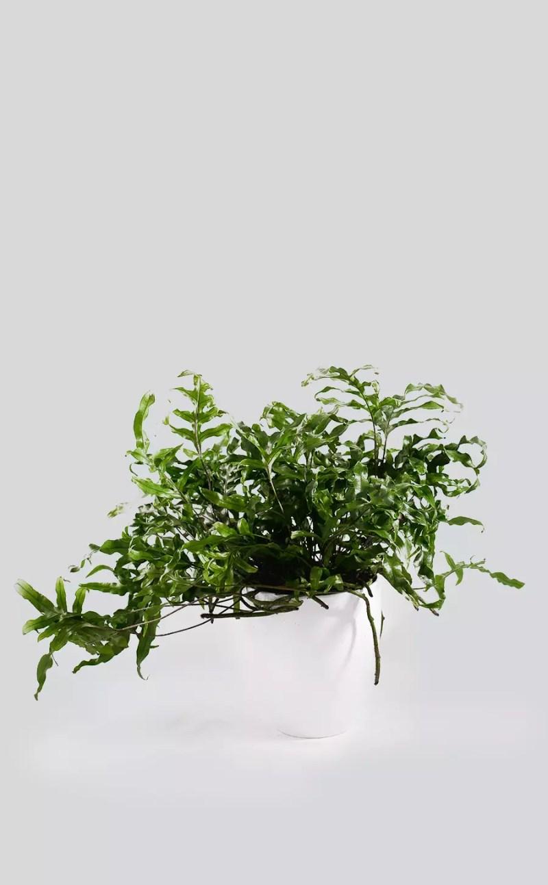 Augalas su vazonu Microsorum diversifolium