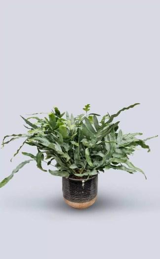 Augalas Phlebodium Aureum