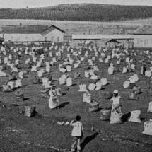 Negros trabalham em um terreiro de café em 1895. Após a abolição, muitas fazendas continuaram a usar mão-de-obra dos antigos escravos.
