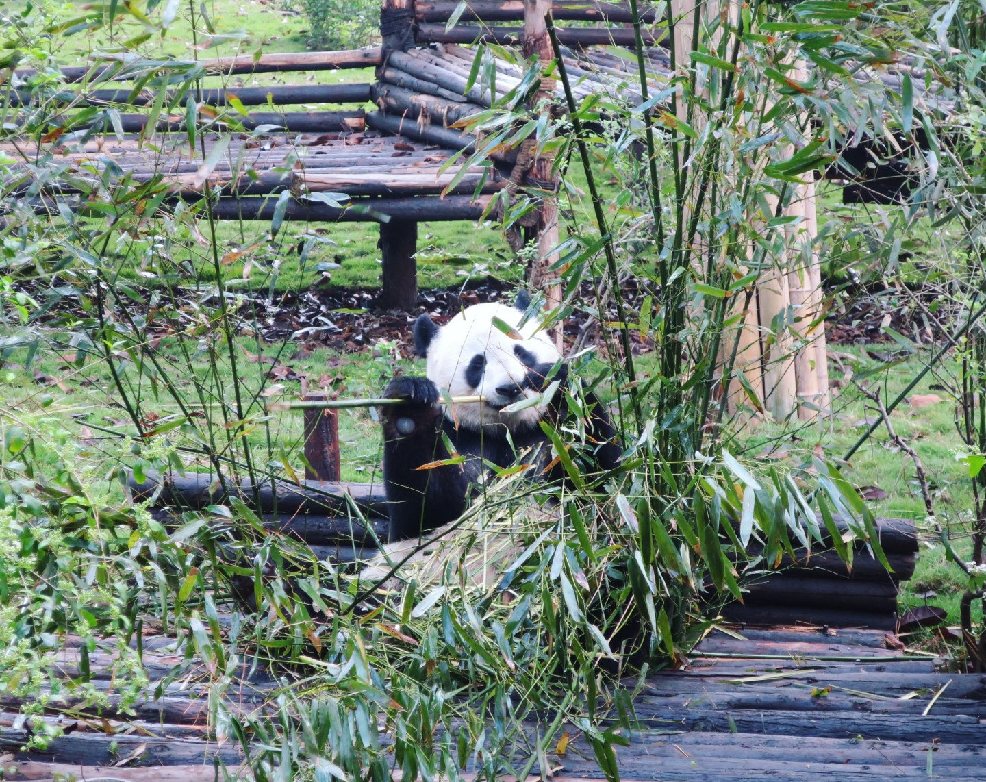 Panda at Chengdu Research base