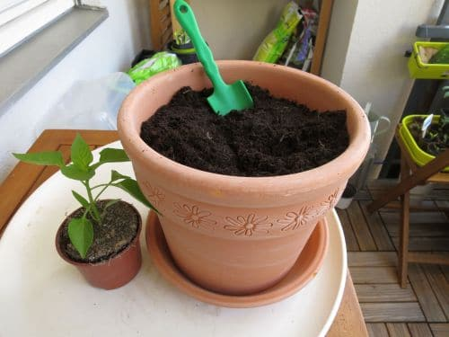 Paprika umpflanzen