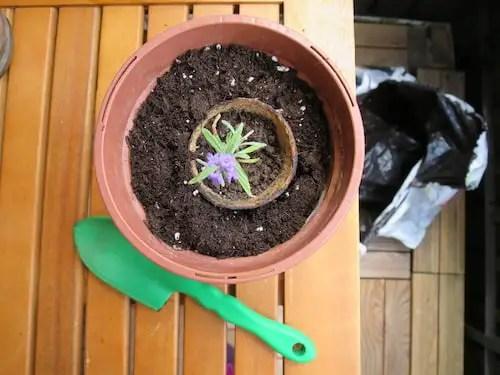 Lavendel vermehren_2