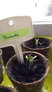 Tomaten Keimlinge