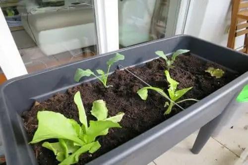 Blattsalat auf dem Balkon anbauen_3