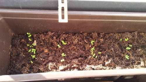 Feldsalat im Blumenkasten anbauen