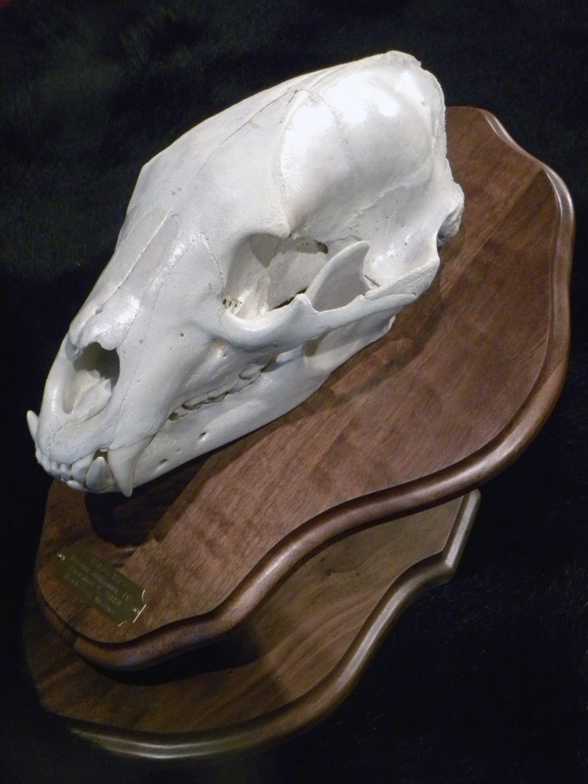 European Bear Skull Pedestal Mount
