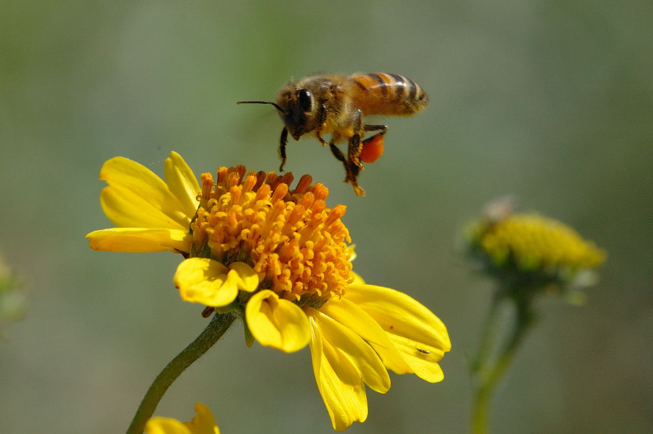Image result for images of a honey bee