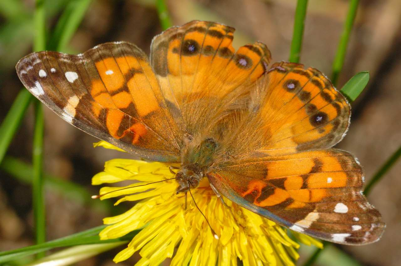 American Painted Lady Butterfly Caterpillar
