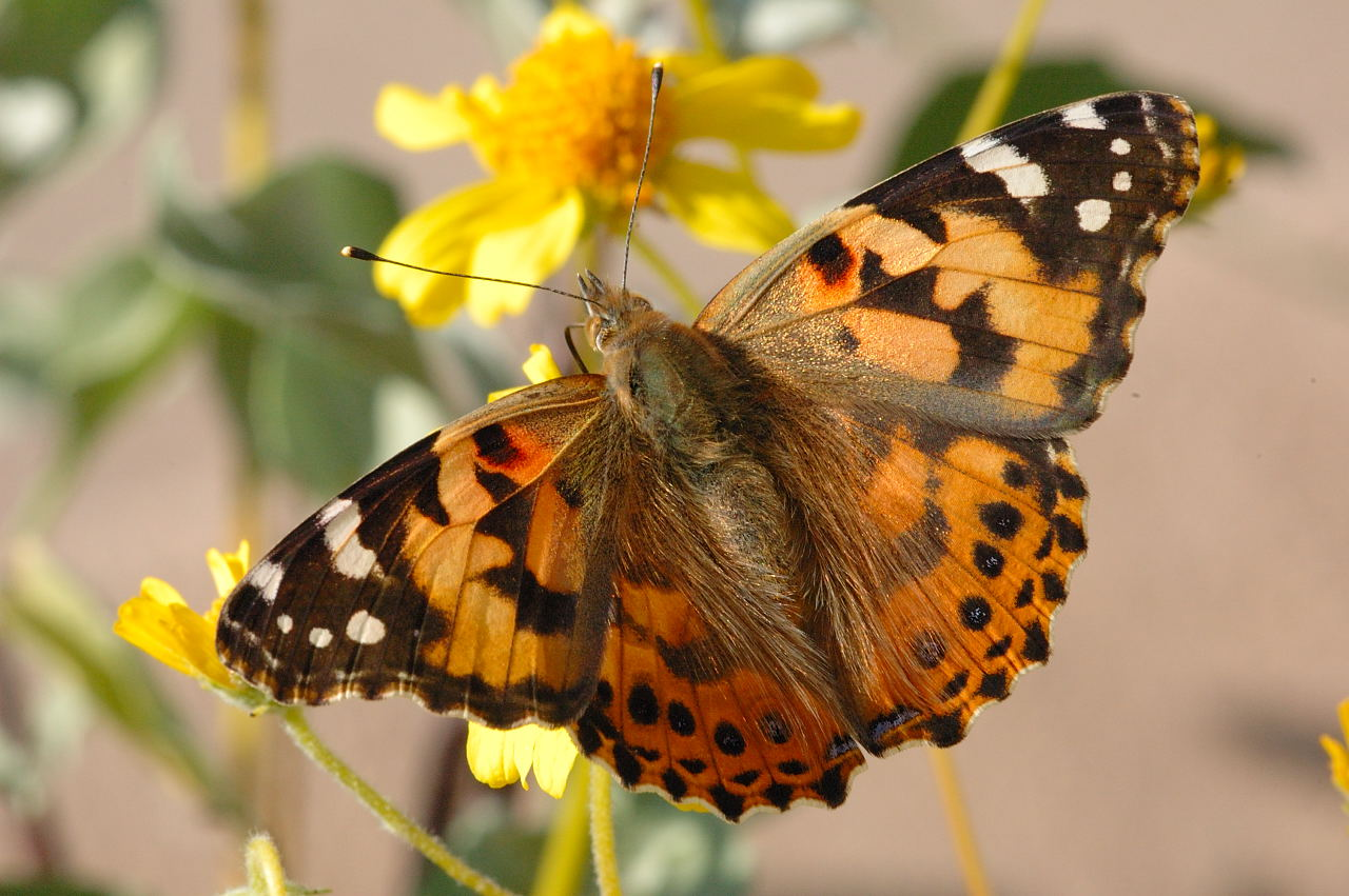 Painted Lady Butterfly Life Cycle